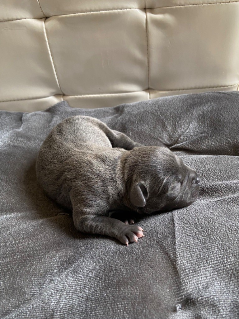 Dog Passion - Chiot disponible  - Staffordshire Bull Terrier