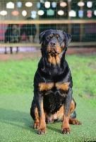 Rottweiler - Beaux bébés à réserver - Du Bois Des Bleizi