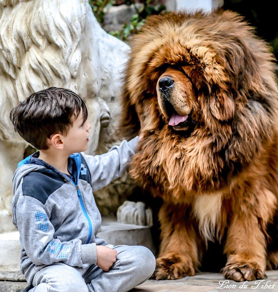 accueil elevage des lions du tibet eleveur de chiens dogue du tibet. Black Bedroom Furniture Sets. Home Design Ideas
