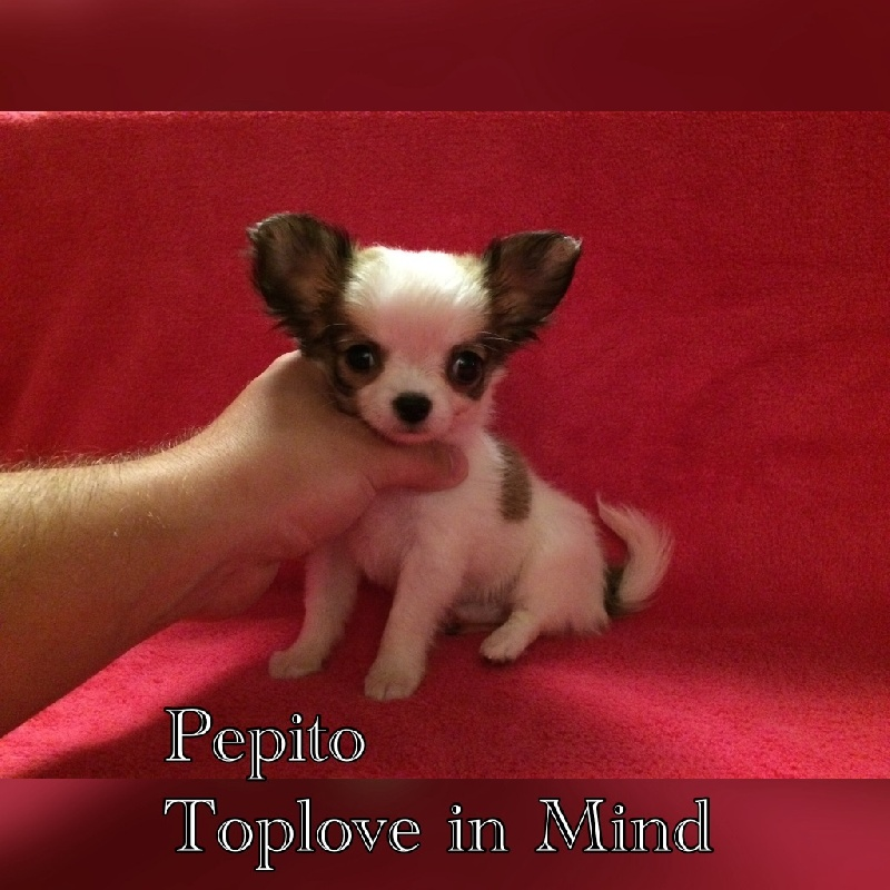 Toplove In Mind - Chiot disponible  - Chihuahua