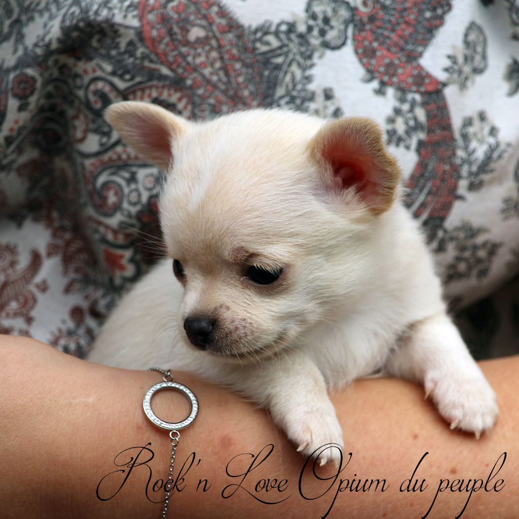 Rock'n Love - Chiot disponible  - Chihuahua