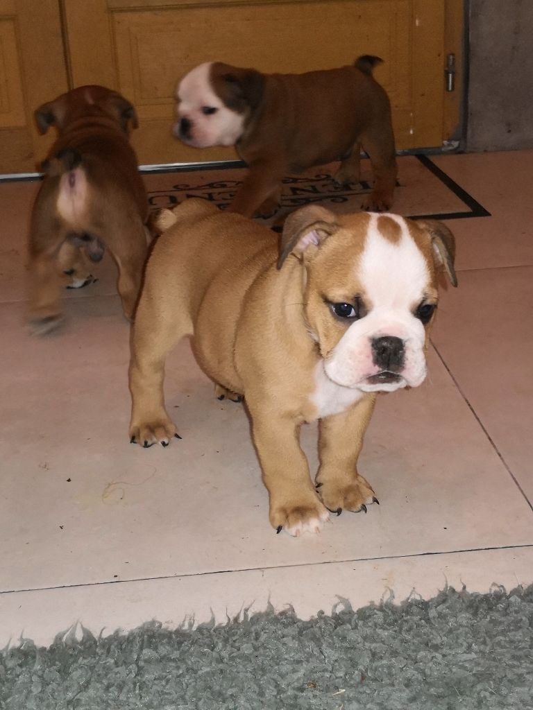 Du Royaume Des Sept Couronnes - Chiot disponible  - Bulldog Anglais