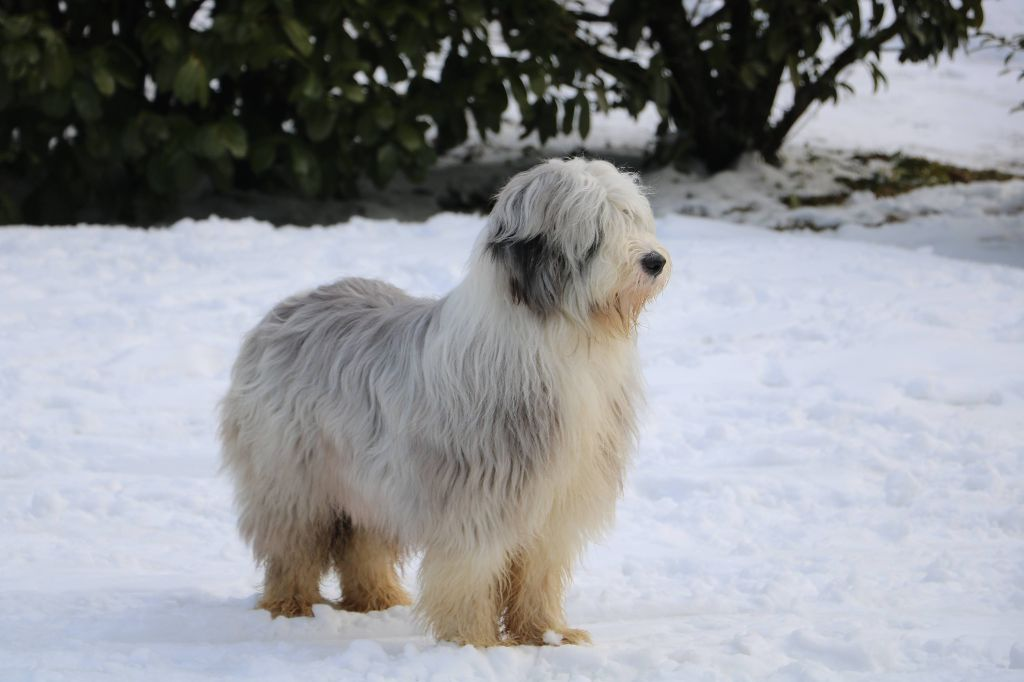 New look de Chester Bearded Collie