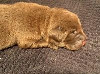 Labrador Retriever - Des Gros Ronfleurs