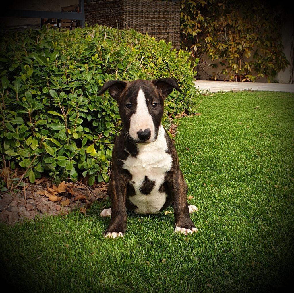 Des Terres D'embellie - Chiot disponible  - Bull Terrier