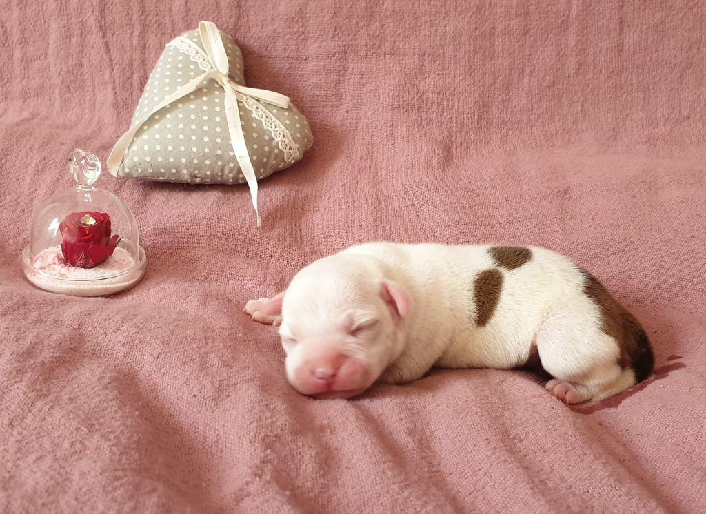 Des Terres D'embellie - Chiot disponible  - Staffordshire Bull Terrier