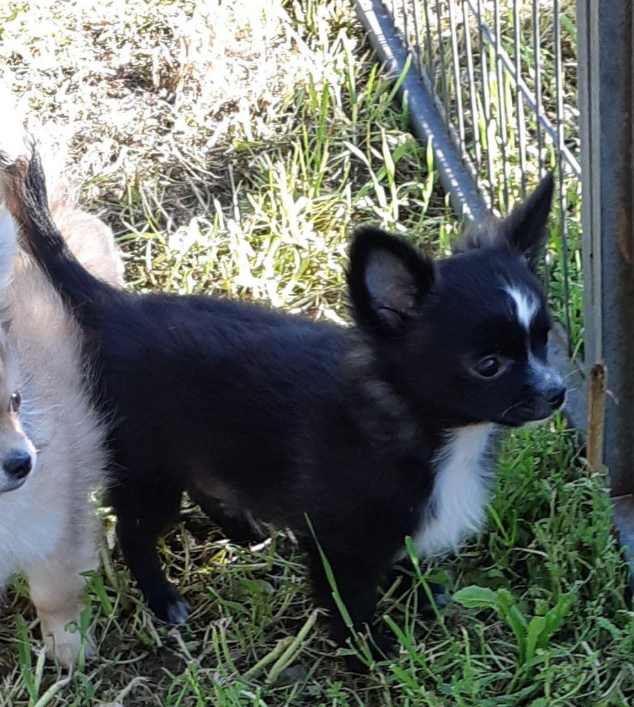 othello - Chihuahua