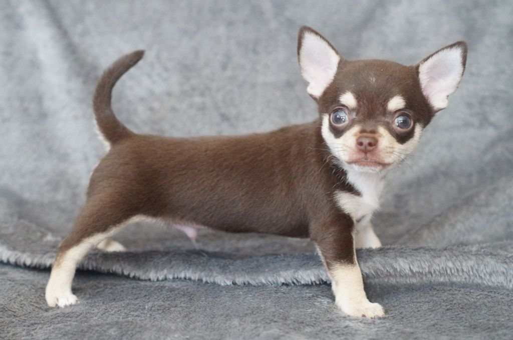 Of Midget Angel's - Chiot disponible  - Chihuahua