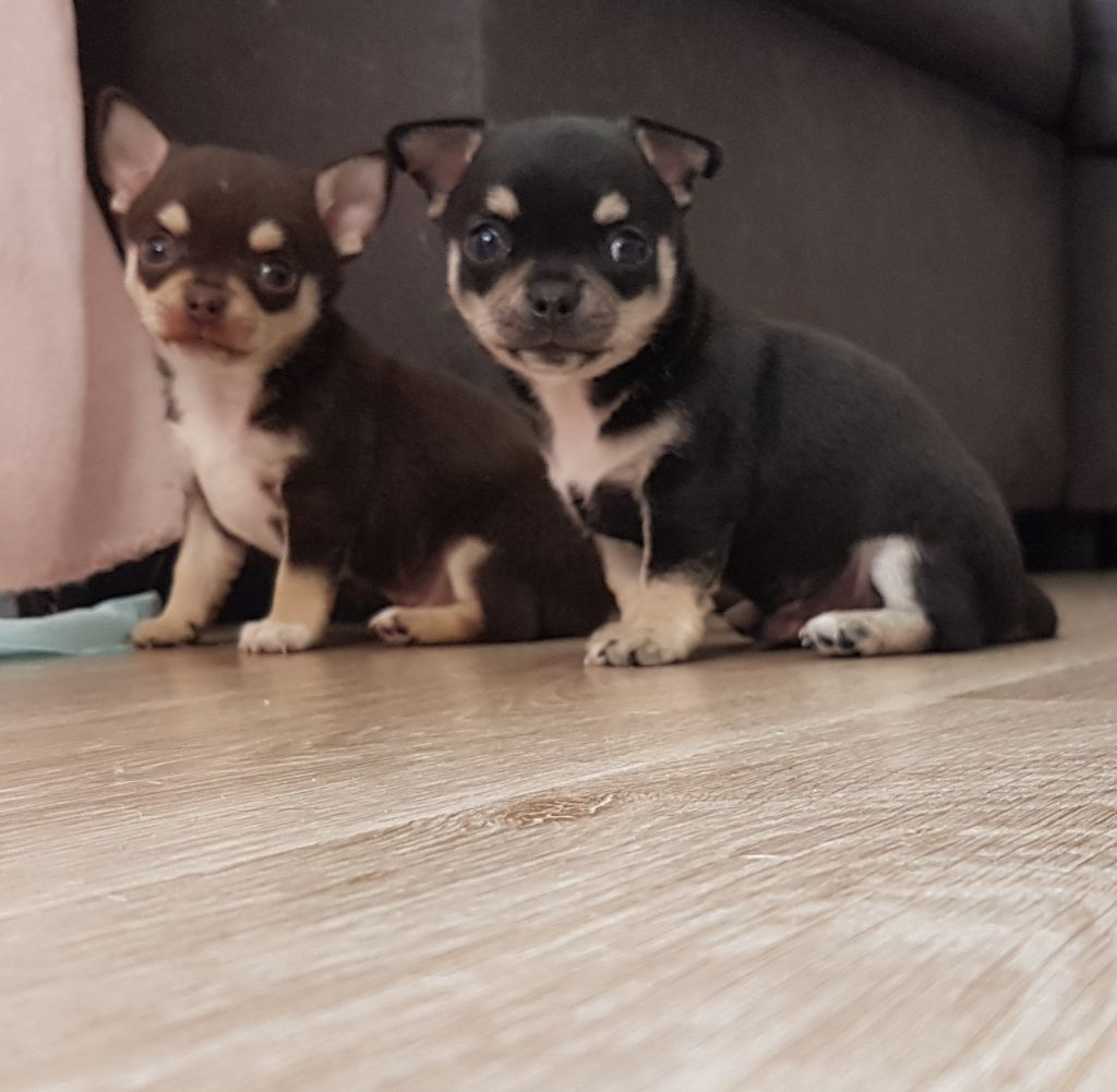 chiot Chihuahua Of Midget Angel's