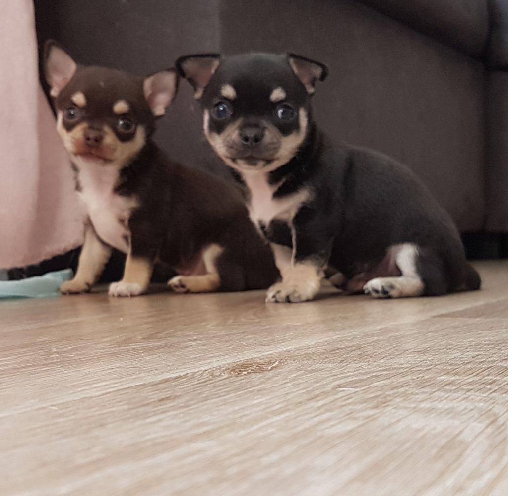 Of Midget Angel's - Chihuahua - Portée née le 11/06/2018
