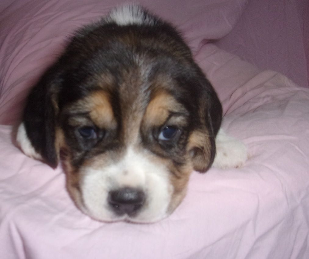 De La Beaglerie Du Dore Et Forez - Chiot disponible  - Beagle
