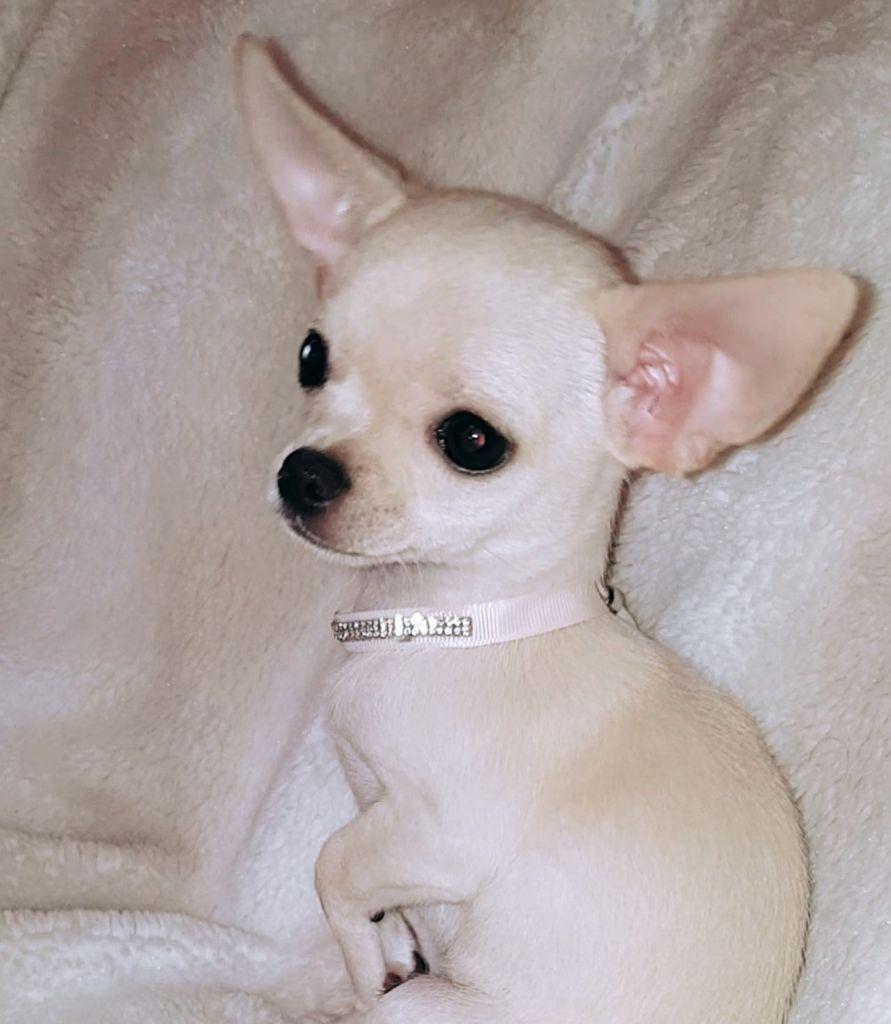 New Heaven Des Perles du Soleil - Chihuahua
