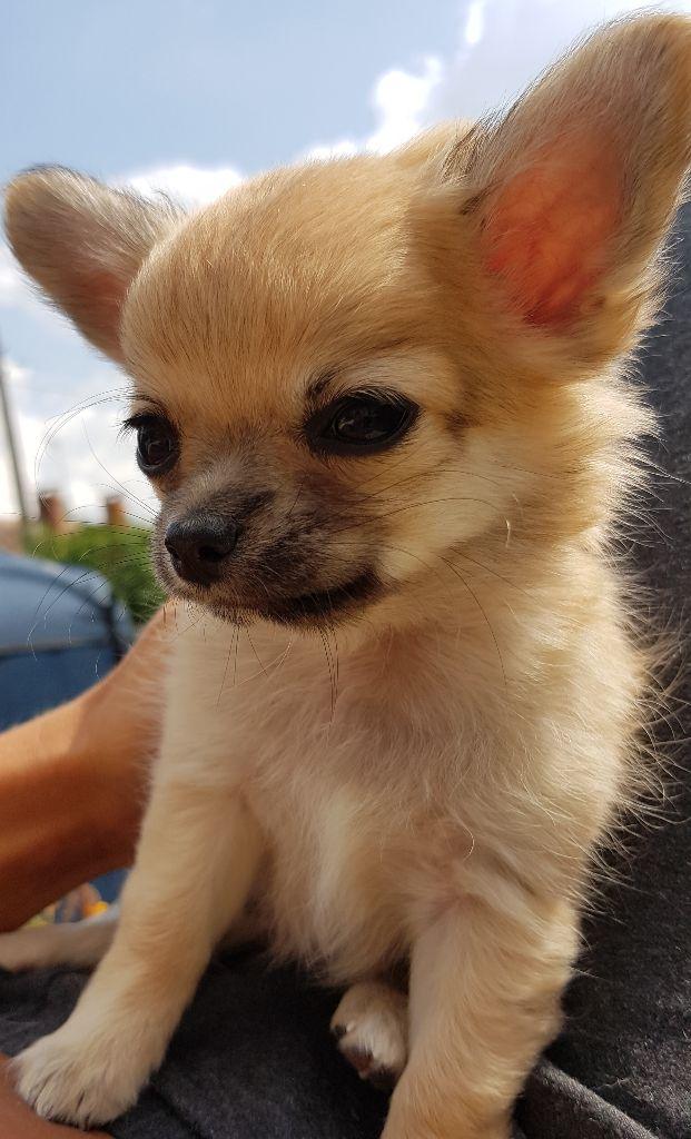 Ouky Des Perles Du Soleil - Chihuahua