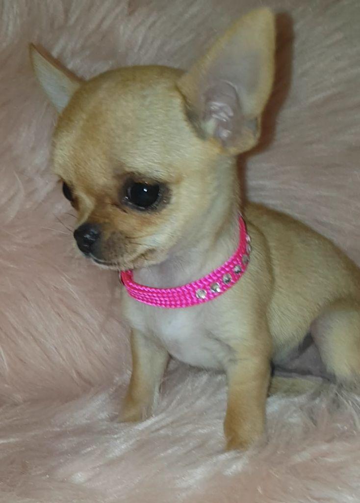 Oxana Des Perles Du Soleil - Chihuahua