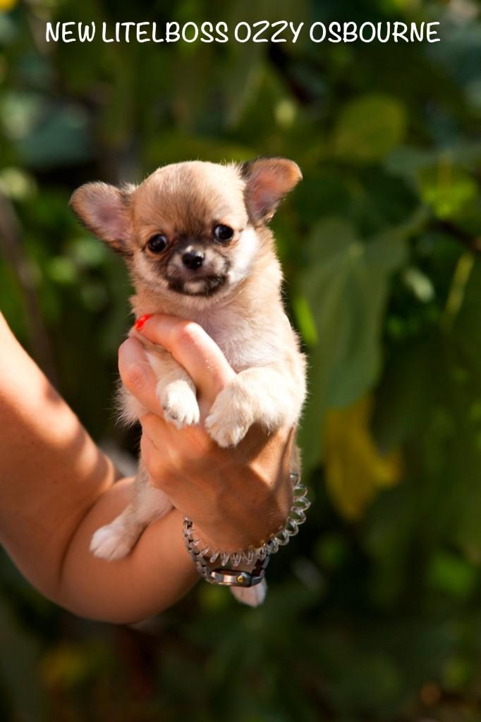 New Litel Boss - Chiot disponible  - Chihuahua