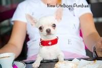 Chihuahua - New Litel Boss