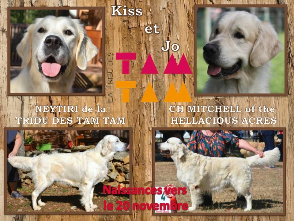 De La Tribu Des Tam Tam - Chiot disponible  - Golden Retriever