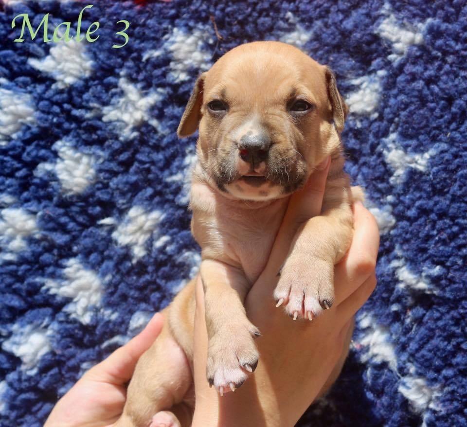 Du Clan Vincenzo - Chiot disponible  - American Staffordshire Terrier