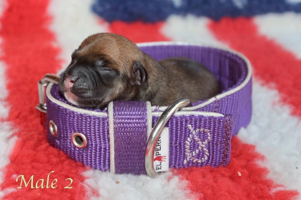 Du Clan Vincenzo - Chiot disponible  - Staffordshire Bull Terrier
