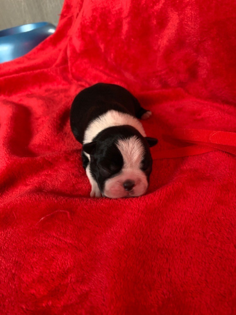 Des Chiens De Nissa La Bella - Chiot disponible  - Boston Terrier