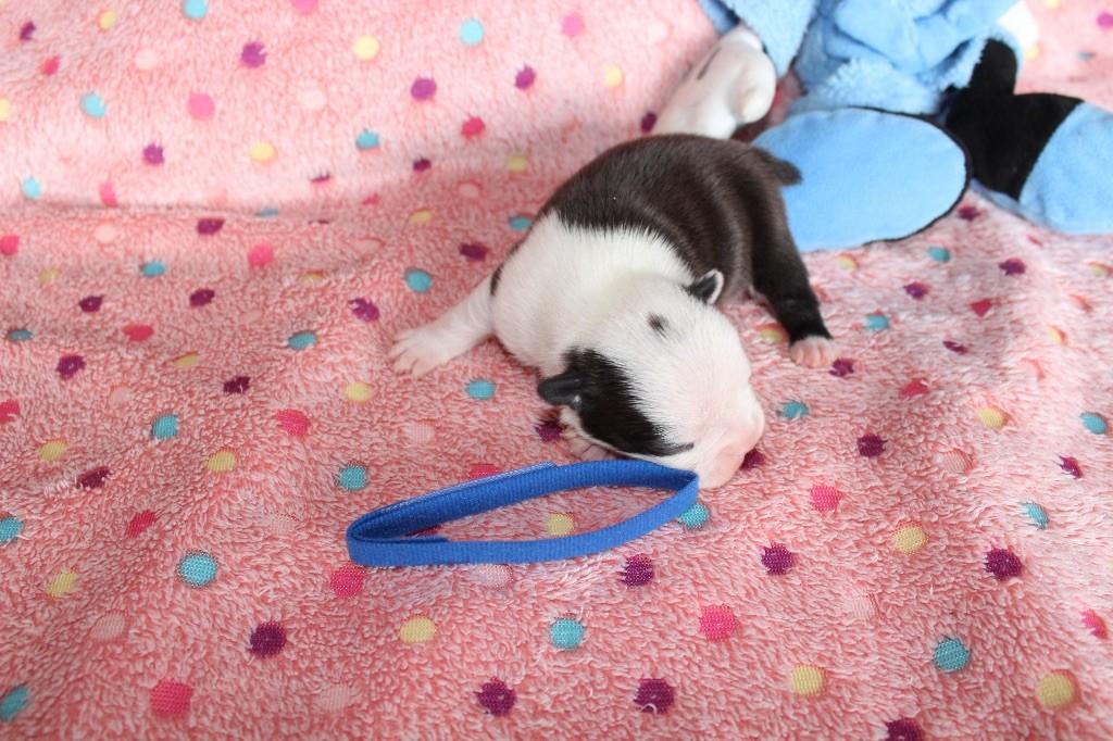 Des Chiens De Nissa La Bella - Chiot disponible  - Boston Terrier