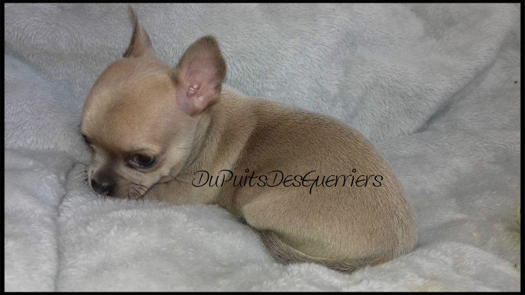 Du Puits Des Guerriers - Chiot disponible  - Chihuahua
