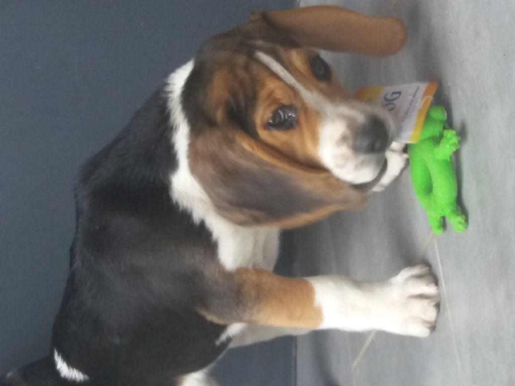 der lenn - Chiot disponible  - Beagle