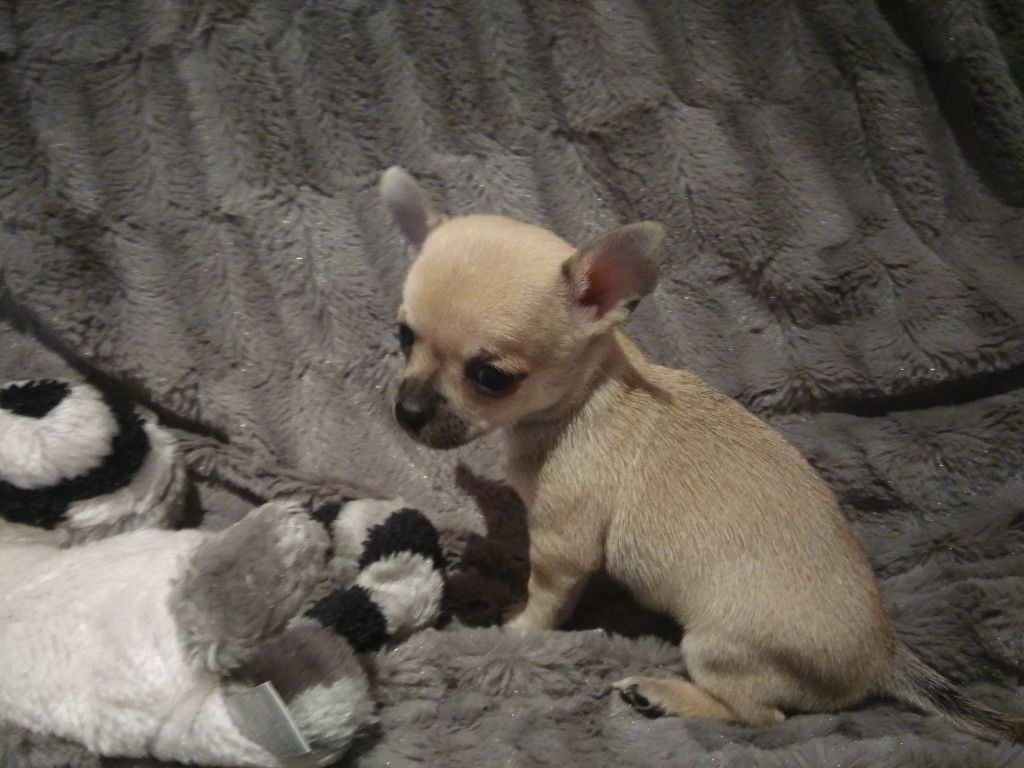 MADEMOISELLE MYOSOTIS - Chihuahua