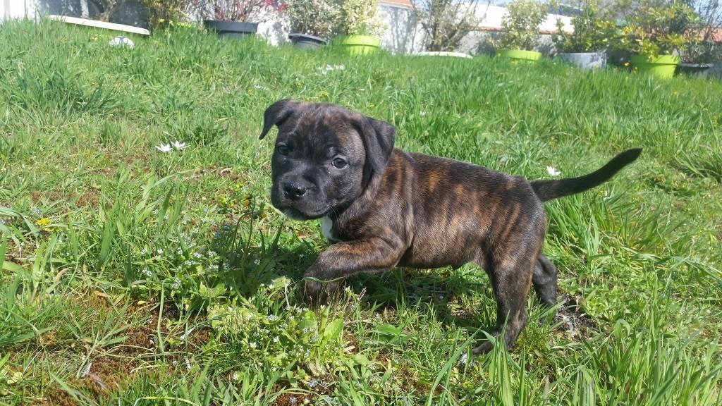 Chiot Staffordshire Bull Terrier, mâle disponible en