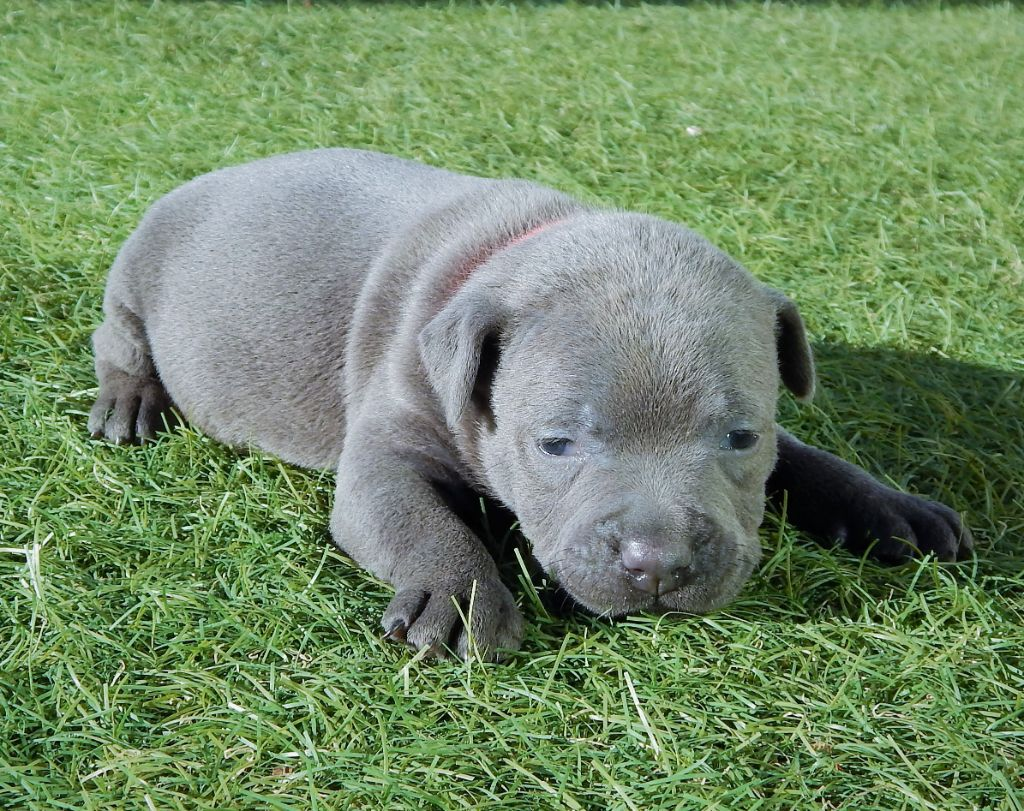 CHIOT COLLIER ROUGE - Staffordshire Bull Terrier