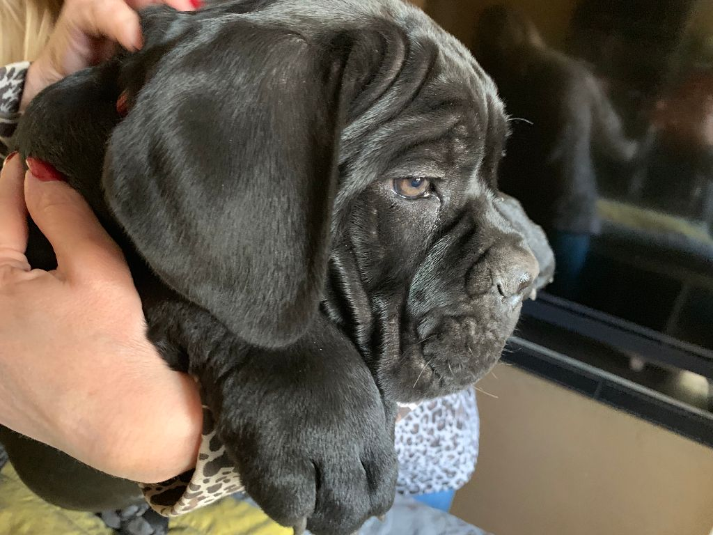 CHIOT COLLIER ROUGE - Cane Corso