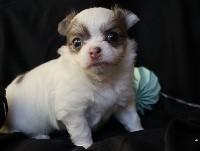 Chihuahua - Du Repère Des Poilus