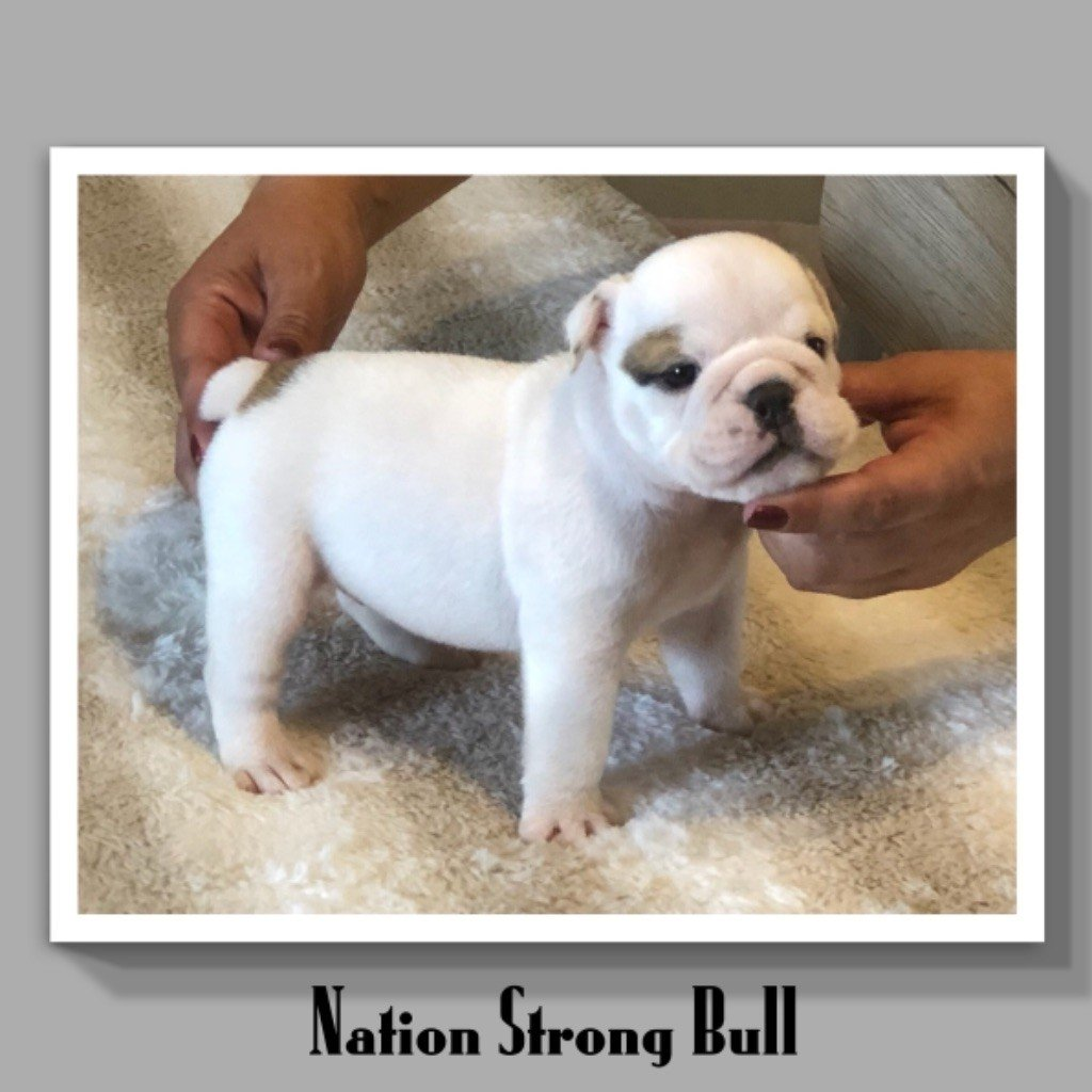 Nation Strong Bull - Chiot disponible  - Bulldog Anglais