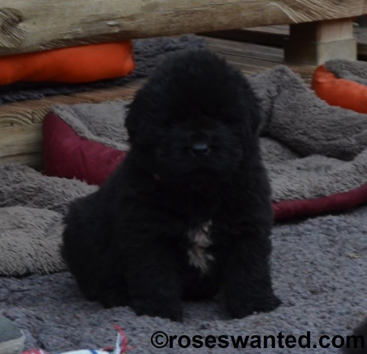 Rose'Wanted - Chiot disponible  - Terre-neuve