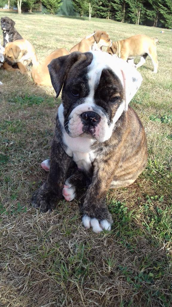 Des Conti's Ador - Chiot disponible  - Bulldog continental