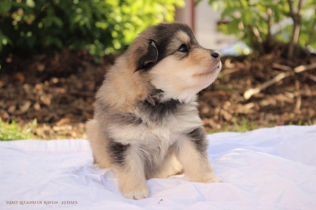 chiot chien finnois de laponie niko m le disponible en ile de france 75 paris toutes les. Black Bedroom Furniture Sets. Home Design Ideas