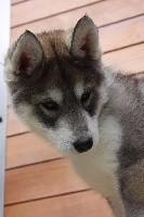 Nome to nenana's travel spirit Of Wolf's Bloody Revenge