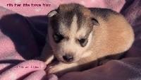 Of Northern Lights Spirit - Siberian Husky - Portée née le 21/09/2018