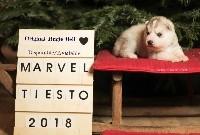 Of Northern Lights Spirit - Siberian Husky - Portée née le 21/12/2018