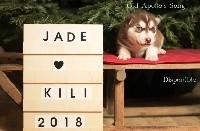 Of Northern Lights Spirit - Siberian Husky - Portée née le 12/12/2018