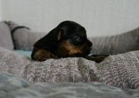 Yorkshire Terrier - Des Joly's Puppies