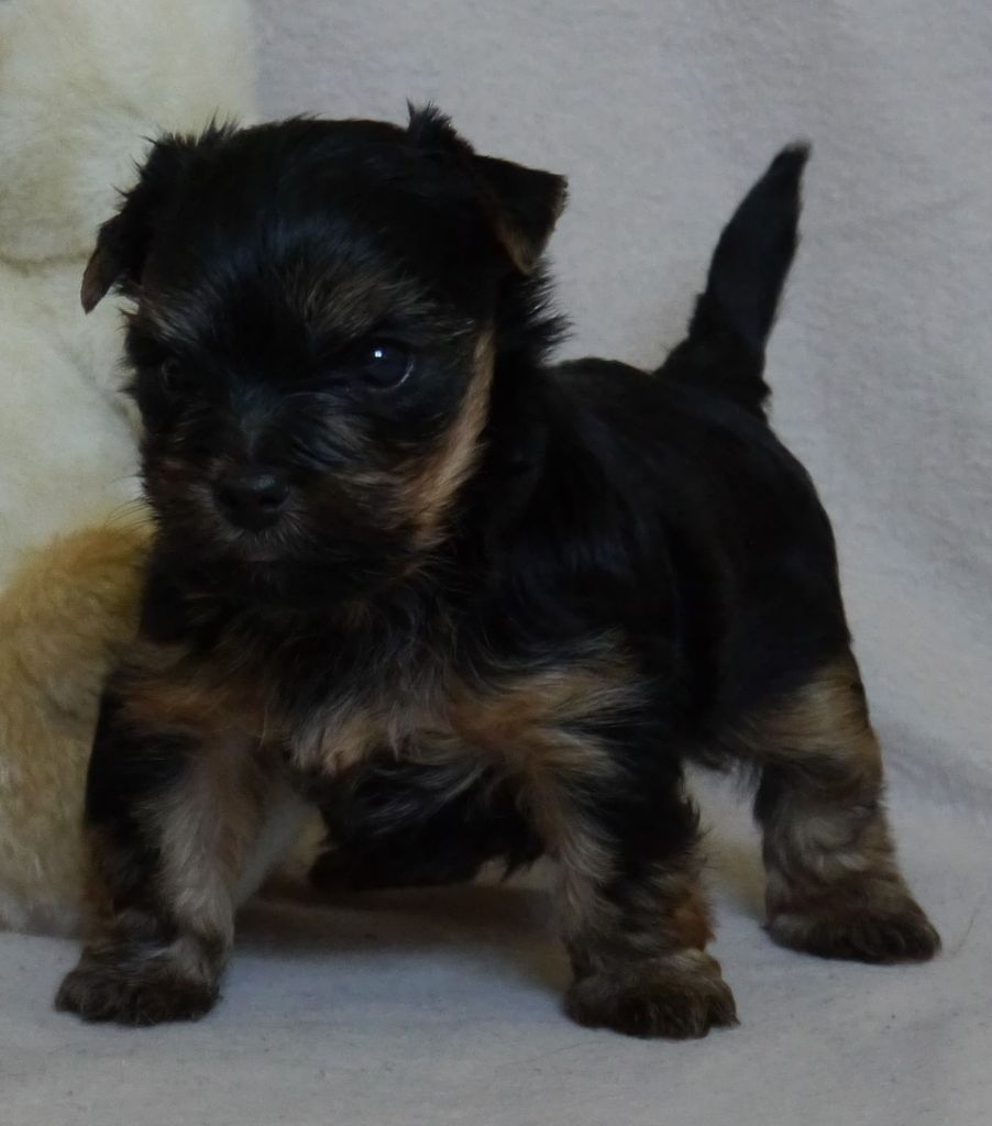 Pollux - Yorkshire Terrier