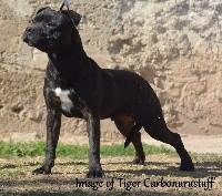 I'm image of tiger carbonarastaff
