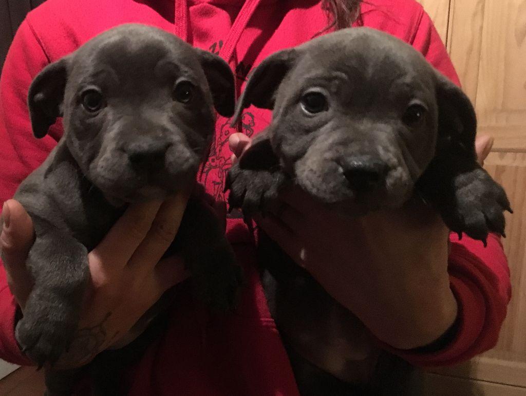 Des animaux stars - Staffordshire Bull Terrier - Portée née le 07/12/2017