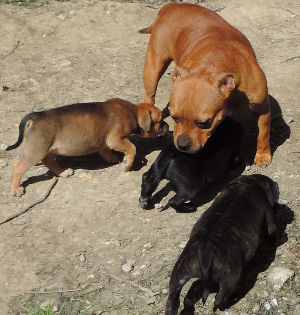 chiot Staffordshire Bull Terrier Des animaux stars