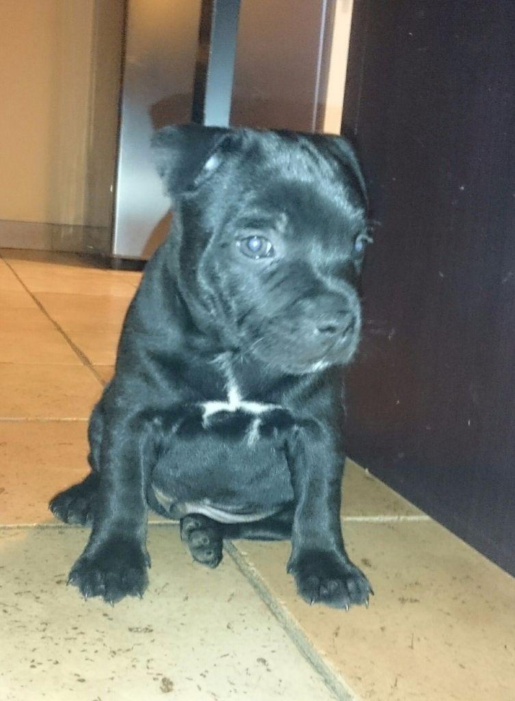 Nouba - Staffordshire Bull Terrier
