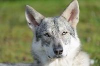 CH. Just the khaleesi De Luna Canis Lupus