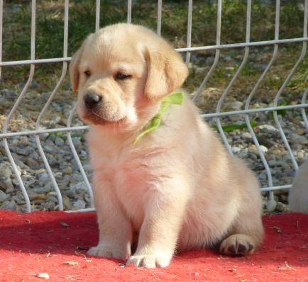 du pré de l'égvonne - Chiot disponible  - Labrador Retriever