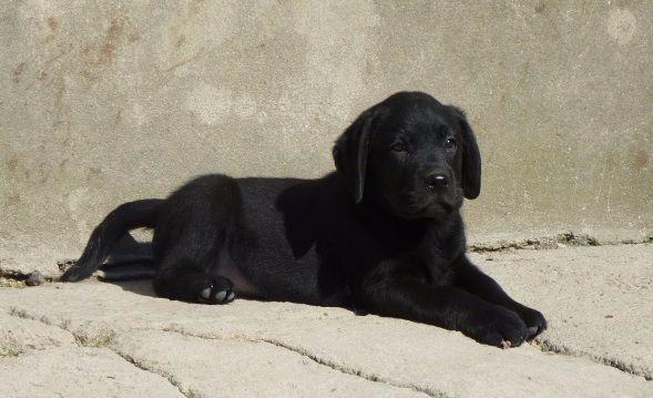 du pré de l'égvonne - Labrador Retriever - Portée née le 02/11/2017