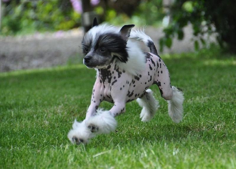 chiot elevage little champs chien chinois cr te eleveur de chien chinois. Black Bedroom Furniture Sets. Home Design Ideas